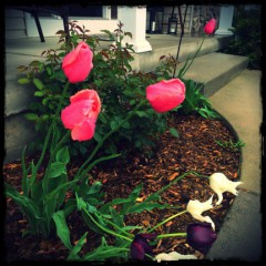 Tulips and Rest